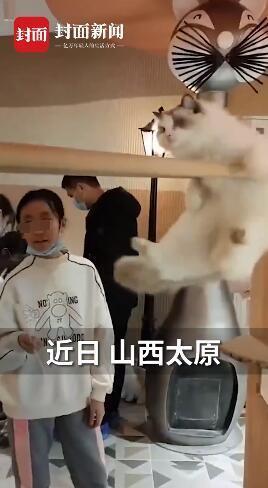布偶猫为吃零食展示双杠技能,网友:凭实力干饭