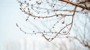 天津气温回升 桃花和迎春花相继绽放