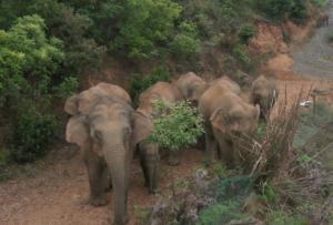 17头亚洲野象集体亮相云南玉溪