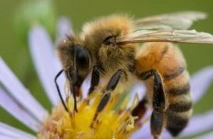 """外媒:荷兰研究人员训练蜜蜂""""嗅出""""新冠病毒"""
