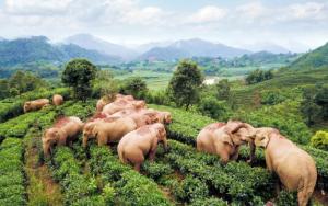 亞洲象群已至玉溪市紅塔區,專家稱有繼續北遷趨勢