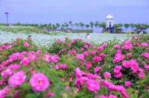 齐鲁酒地玫瑰花海旅游节开启,寻觅最浪漫的故事