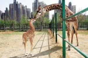 不到3米!烏干達發現全球最矮長頸鹿