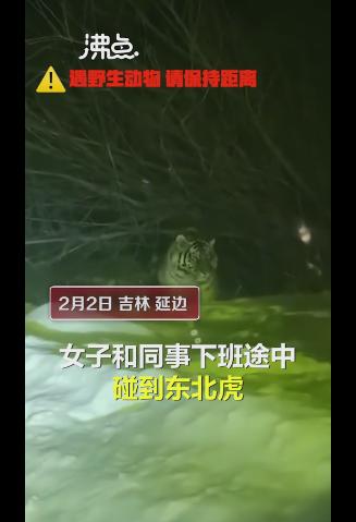 女子下班途中偶遇东北虎,老虎在雪地中漫步,神态悠闲