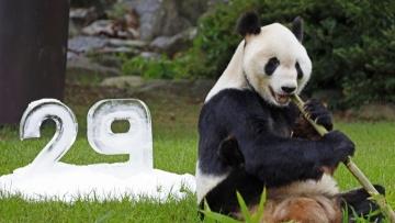 Giant panda Eimei celebrates 29th birthday in Japan