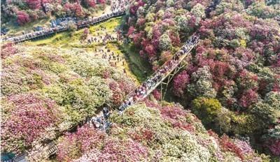 游客在贵州毕节百里杜鹃管理区盛开的杜鹃花间漫步。罗大富摄(人民视觉)