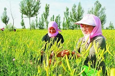 """宁夏盐池:""""白的羊""""""""黄的花""""富了农民家"""