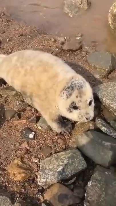 奶凶奶凶的!小海豹连续四天上岸求助