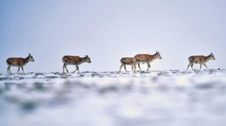 守护可可西里:这里的藏羚羊种群数量已达7万多只