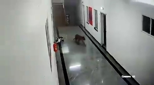 黑豹闯入印度一所医学院宿舍楼 院长:这很常见