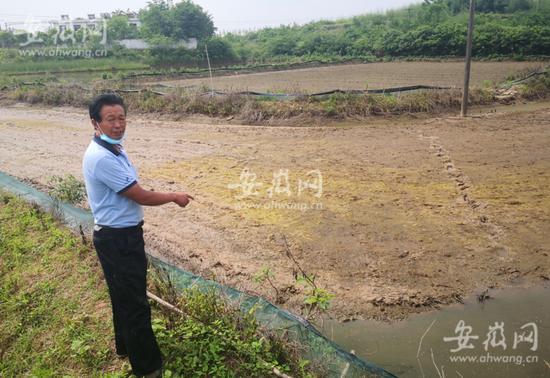 昔日的龙虾田,龙虾被毒死后,改播稻种依旧被毒死。