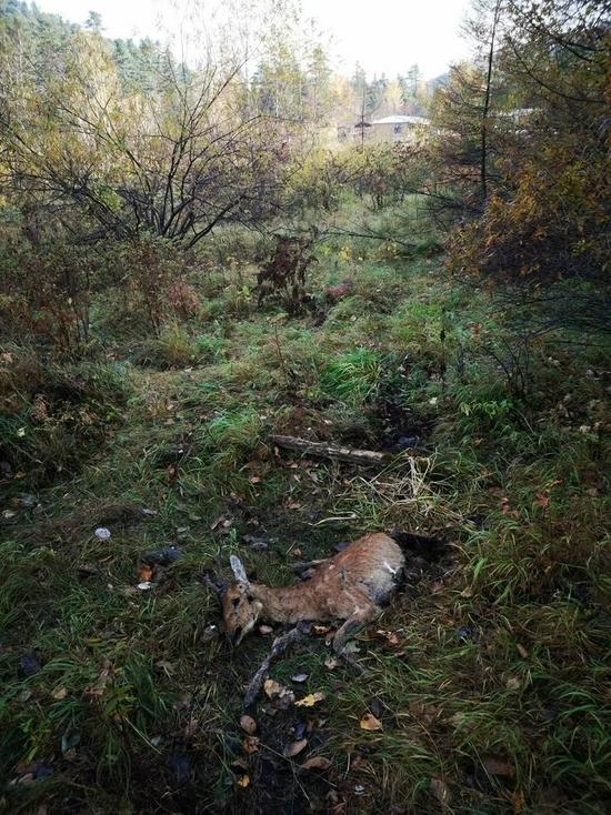 距离野猪林驻地100多米被东北虎杀死的狍子。周海翔供图