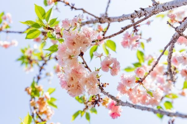 国内八大赏樱地推荐 附樱花品种简介