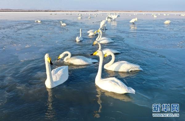 """甘肃张掖:大批白天鹅""""打卡""""黑河湿地"""