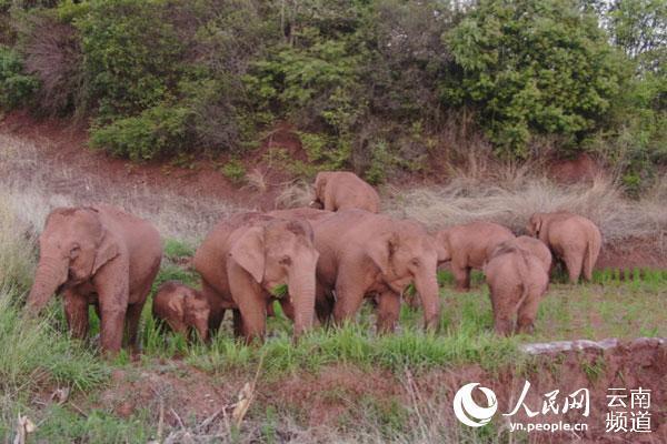 云南省林草局:亚洲象数量不断增长 分布范围不断扩大