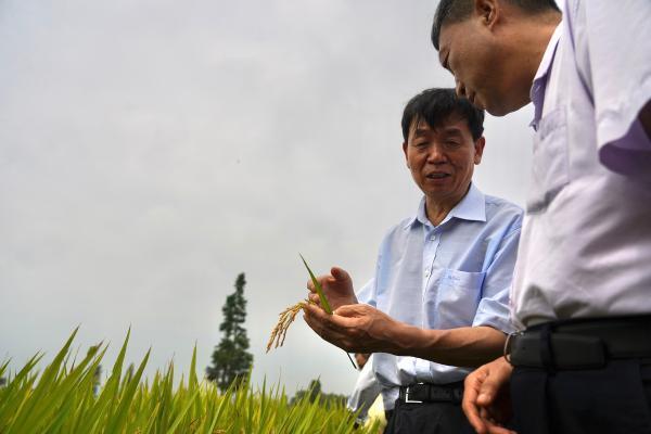 零的突破!中国双季早粳稻新品种选育成功