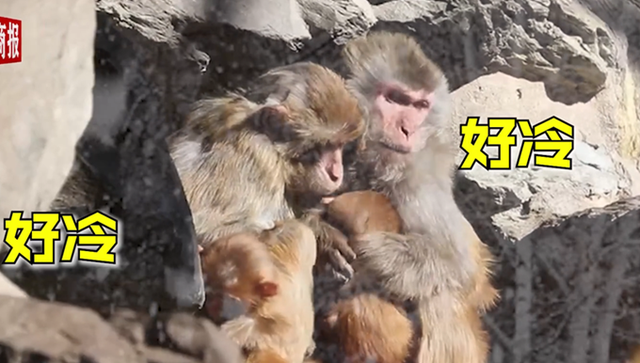 心酸!北京动物园猴子抱团取暖 一夜之间北京冷成北极圈