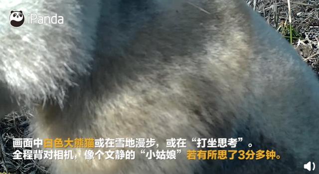 全球唯一白色大熊猫长大变金白色 相机拍到珍贵画面