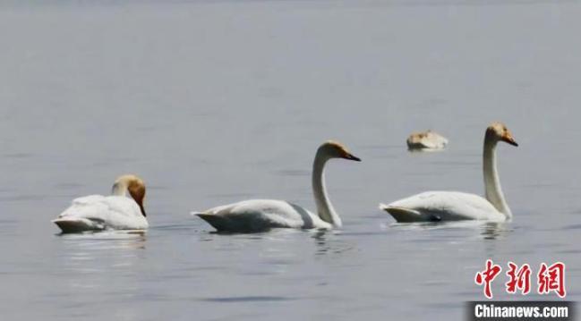 图为大天鹅。青海多美生态环保科技有限公司 供图