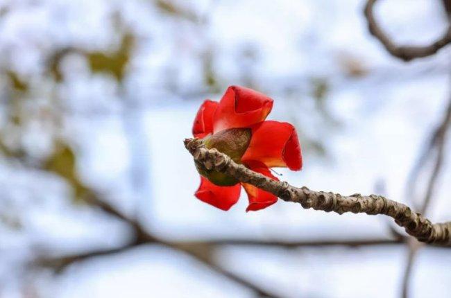 2021年深圳洪湖公园木棉花观赏指引 免费免预约、直接前往即可