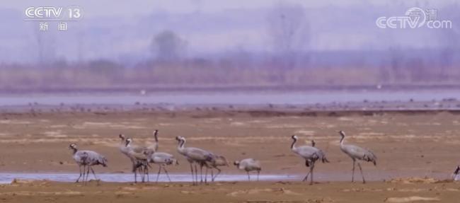 生态保护力度不断加大 候鸟群云集黄河湿地 多种鸟类和谐共生