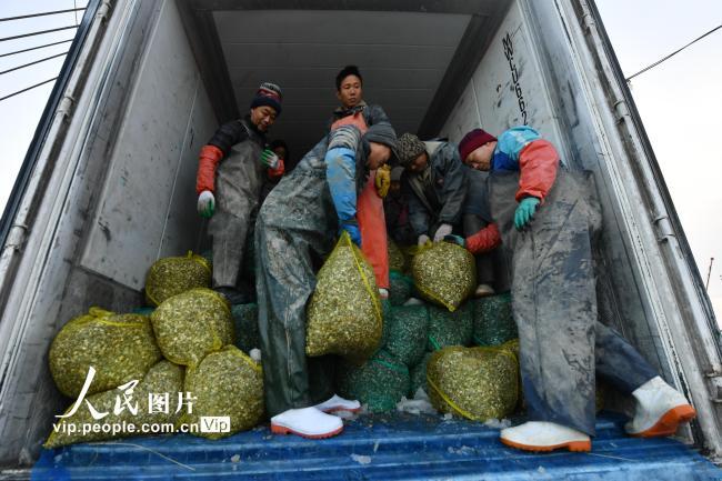 青岛胶州湾:渔民恢复贝类底播作业【5】
