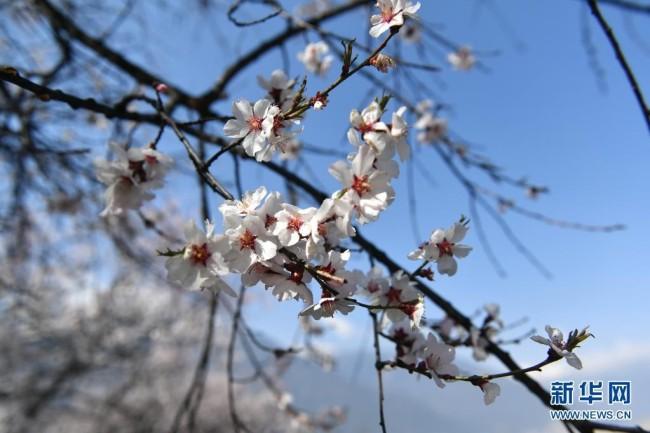 这是3月27日在林芝市嘎拉村拍摄的桃花。