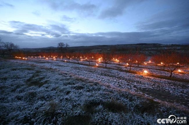 气温骤降 法国果农点燃蜡烛为树木保暖