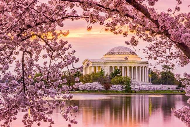 日本现千年来最早樱花季 美好景象背后掩藏危机?
