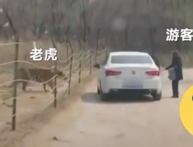 惊险!游客在猛兽区下车,旁边就是老虎