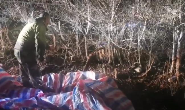 连中四枪被麻醉!黑龙江进村的东北虎已被控制