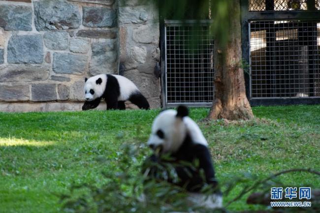 """旅美大熊猫""""小奇迹""""与公众见面"""