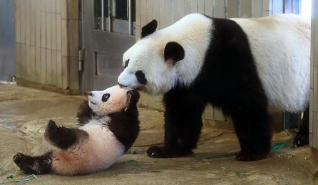 东京动物园大熊猫疑似怀孕附近中餐馆股票大涨