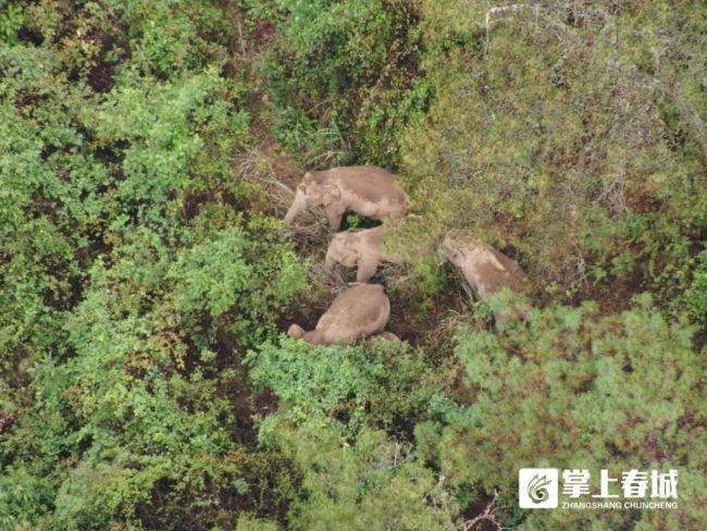 总体向西迁移5.5公里,1头公象离群!大象到这儿了