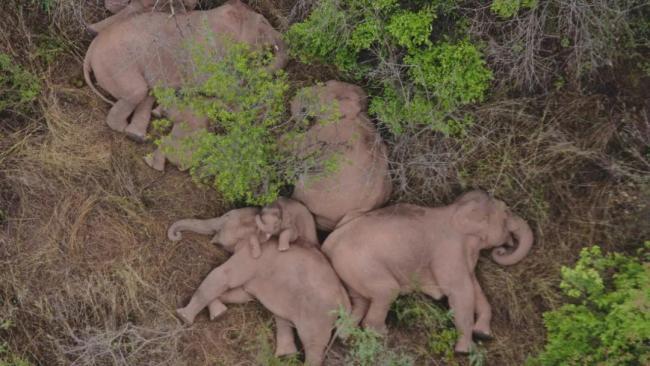 无人机拍下野象群睡觉休息的画面 网友:被可爱到