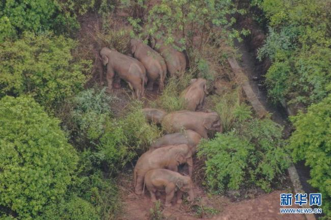 云南北迁亚洲象群持续小范围活动