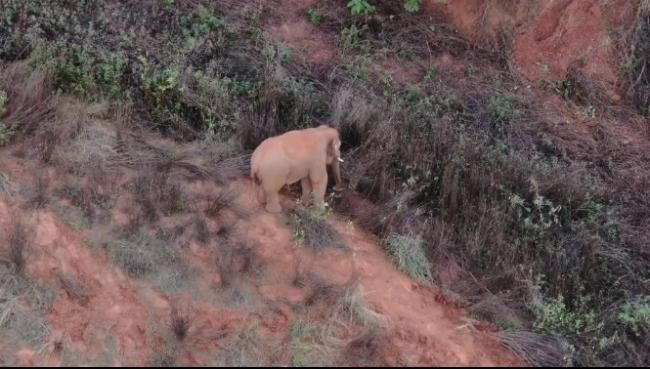 象群向西北迂回迁移,与独象直线距离19.1公里