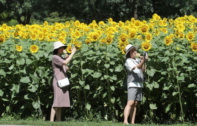 北京奥森公园百亩向日葵火热绽放