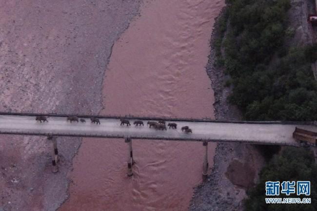 云南北移亚洲象群跨过元江 回归适宜栖息地