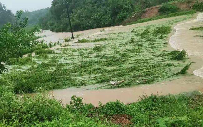 8月12日,何店镇王店村一农田被淹。受访者供图