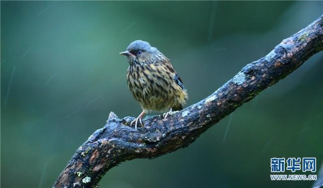 领略生物多样性之美|丽江老君山:鸟儿的乐园