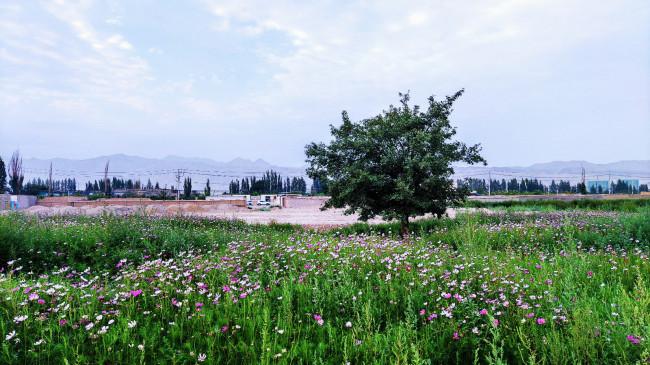 库尔勒市恰尔巴格乡打造百亩格桑花海
