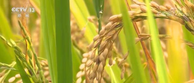 农业农村部:早稻生产现代化进程加快推进 早稻丰收已成定局增产趋势明显