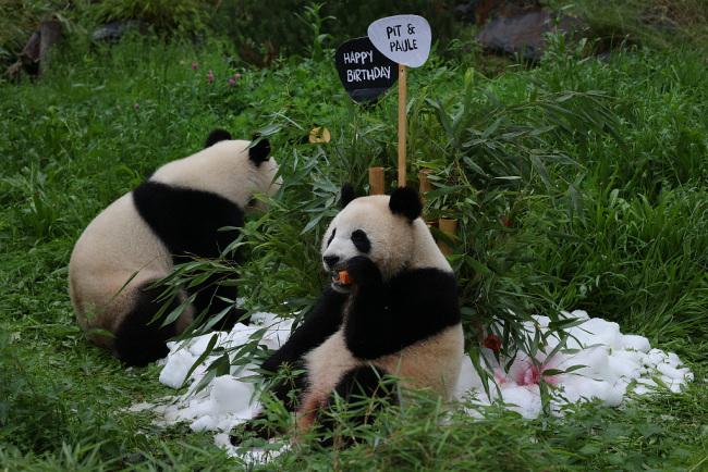 旅德大熊猫双胞胎迎来两周岁生日