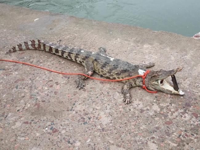河北非法放生鳄鱼被捕捞上岸:湖水不宜生存已死亡