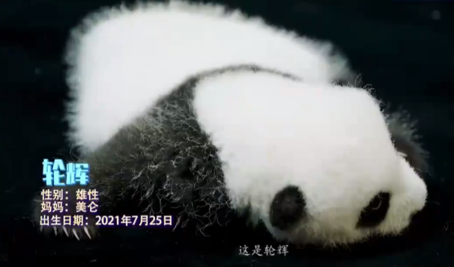 永久免费计划软件_新生熊猫幼仔亮相 共庆祖国华诞