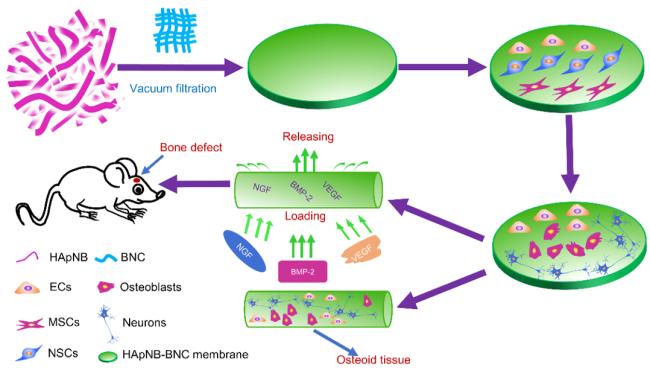 """银丰生物关于""""干细胞促进新生骨生长""""研究成果在国外期刊发表"""