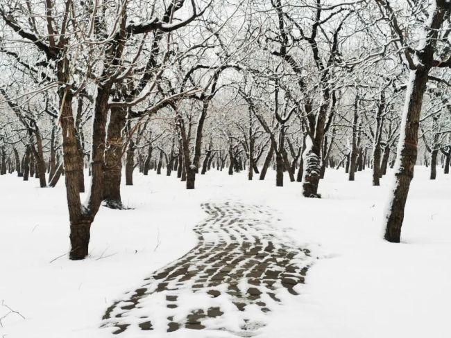 德州乐陵2021年第一场雪,与千年枣林不期而遇