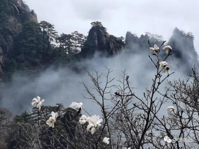 黄山之巅,玉兰花进入最佳观赏期