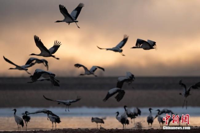 2月17日,西藏拉萨市林周县黑颈鹤保护区内,黑颈鹤翩跹起舞、分外美丽。中新社记者 何蓬磊 摄